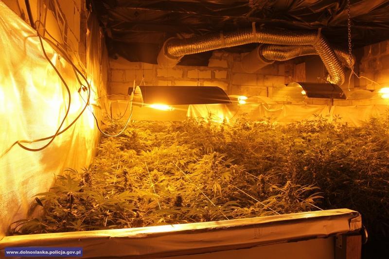 Zlikwidowana plantacja izabezpieczone 300 krzewów, zktórych można wyprodukować około 10 kg marihuany