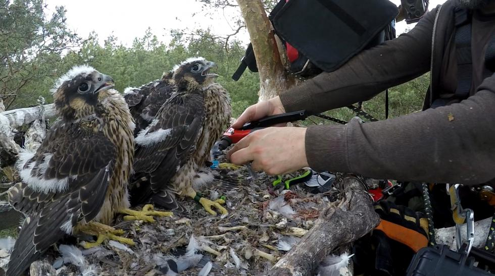Narodziny czterech sokołów wędrownych wmilickich lasach